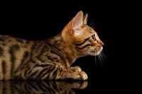 Closeup Bengal Kitty in Profile on Black