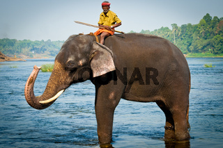 Trainers bathing elephants from the sanctuary colse to Ernakulam