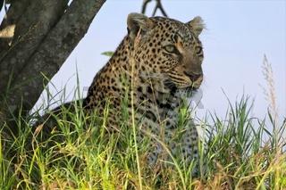 portrait of a leopard at the masai mara national park kenya africa