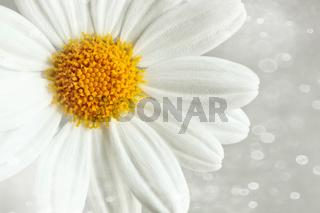 White daisy against a blur background
