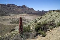Roter Teide Natternkopf, Pflanze im Teide Nationalpark, auf der kanarischen Insel Teneriffa