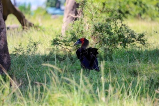 a ground hornbill at the masai mara national park