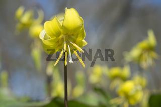 Hunds-Zahnlilie (Erythronium dens-canis)