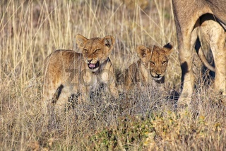 lions cub at etosha national park namibia africa