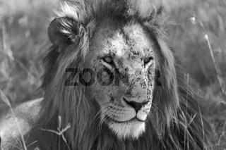 portrait of a lion at the masai mara national park kenya africa