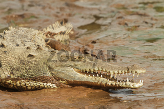 Crocodile with open mouth laying in the mud at the edge of river