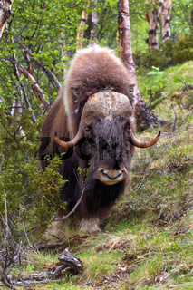 musk ox norway
