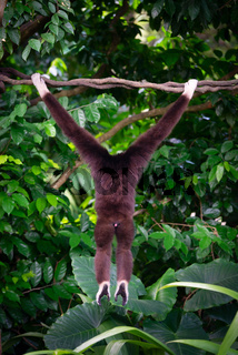 One gibbon from back in the forest hanging from a tree in the jungle