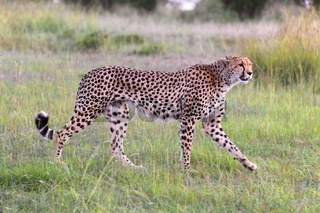 beautiful young cheetah at the masai mara national park kenya
