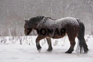 Kaltblutpferd im Schnee