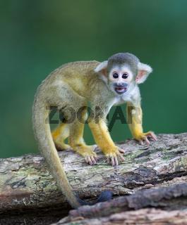Small common squirrel monkeys (Saimiri sciureus)
