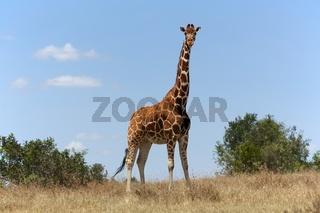 masai girafe at a samburu kenya