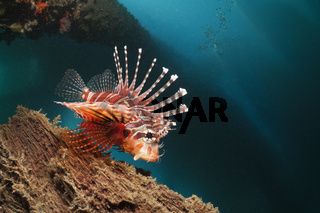Zebra-Zwergfeuerfisch unter BootsSteg, Mole, Pier, anlegesteg, Indonesien