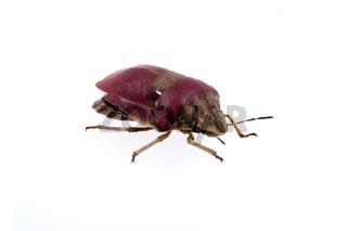 Sloe bug on white background