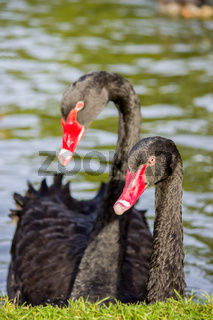 Couple black swans