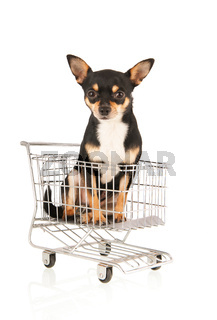 Chihuahua in shopping cart isolated over white background
