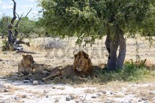 couple of lions in etosha national park namibia