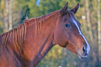 Portrait of a beautiful chestnut Mare
