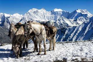 Steeds on the pass Karaturek in the background Mount Belukha, Altai, Russia