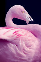 Chilean Flamingo Portrait