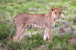 young lioness at kgalagadi transfrontier park south african side