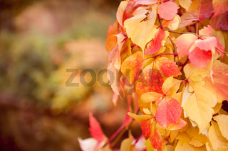 vine red yellow leaves abstract
