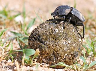 Pillendreher auf seiner Kugel, Etosha, Namibia, dung beetle, Etosha NP, Namibia, Scarabaeus sacer