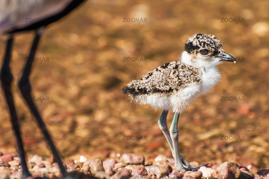 Lapwing Chick with Mother