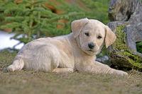 Labrador Retriever Welpe im Gras