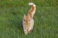 Cat ginger tabby walking in grass