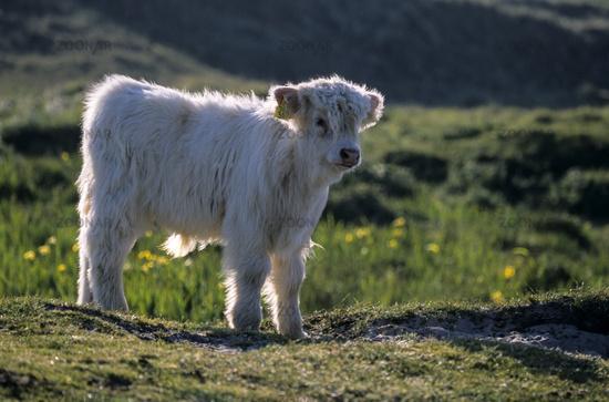 Galloways sind benannt nach der Region ihrer Herkunft in Schottland - (Foto Kalb) / Bos primigenius taurus