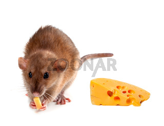 Fancy rat (Rattus norvegicus) eating cheese