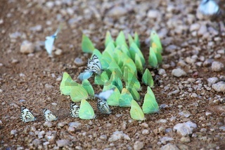 butterflies at the kgalagadi transfrontier national park south africa