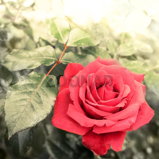 Romantic rose flower in summer garden