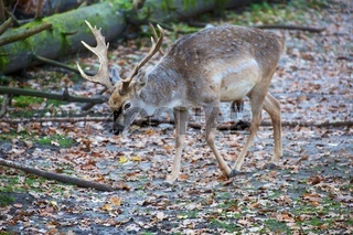 deer at the bavarian forest national park germany