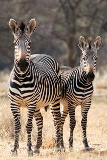 Two Hartmann Mountain Zebras