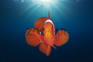 Stachel-Anemonenfisch, Salomonen