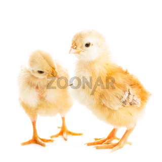 Cute chicks