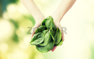 close up of woman hands holding spinach