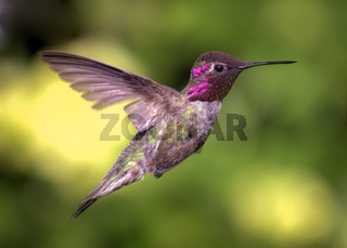Hummingbird in Flight, Color Image, Day