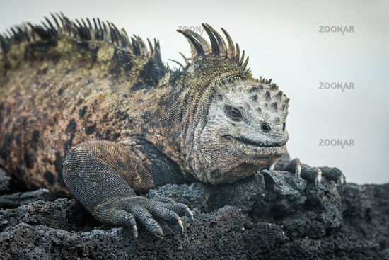 Marine iguana lying on black volcanic rocks