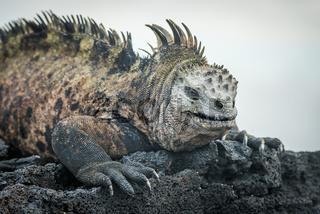 Marine iguana lying on black volcanic rocks