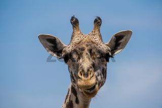 Girafe,Netzgiraffe,Giraffe,Giraffa camelopardalis reticulata,Portrait
