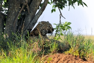 a leopard at the masai mara national park kenya africa