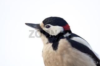 Buntspecht ist auch im Winter seinem Revier treu solange Nahrung zu finden ist - (Foto Portraet vom Maennchen) / Great Spotted Woodpecker is usually resident year-round - (Photo adult male) / Dendrocopus major - (Picoides major)