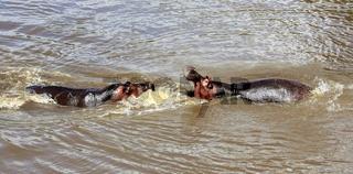 hippo's fight at the masai mara national park kenya africa