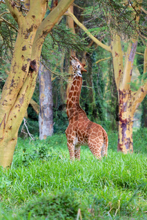 girafe in the forest kenya