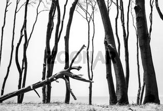 Ostsee - Baummotiv im Darsswald