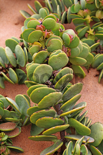 Talerbusch, Dollarbusch, Namibia; dollar bush; Zygophyllum stapfii