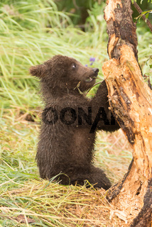 Brown bear cub chews branch of tree